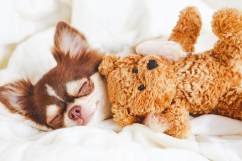 small dog sleeping and cuddling small teddy bear